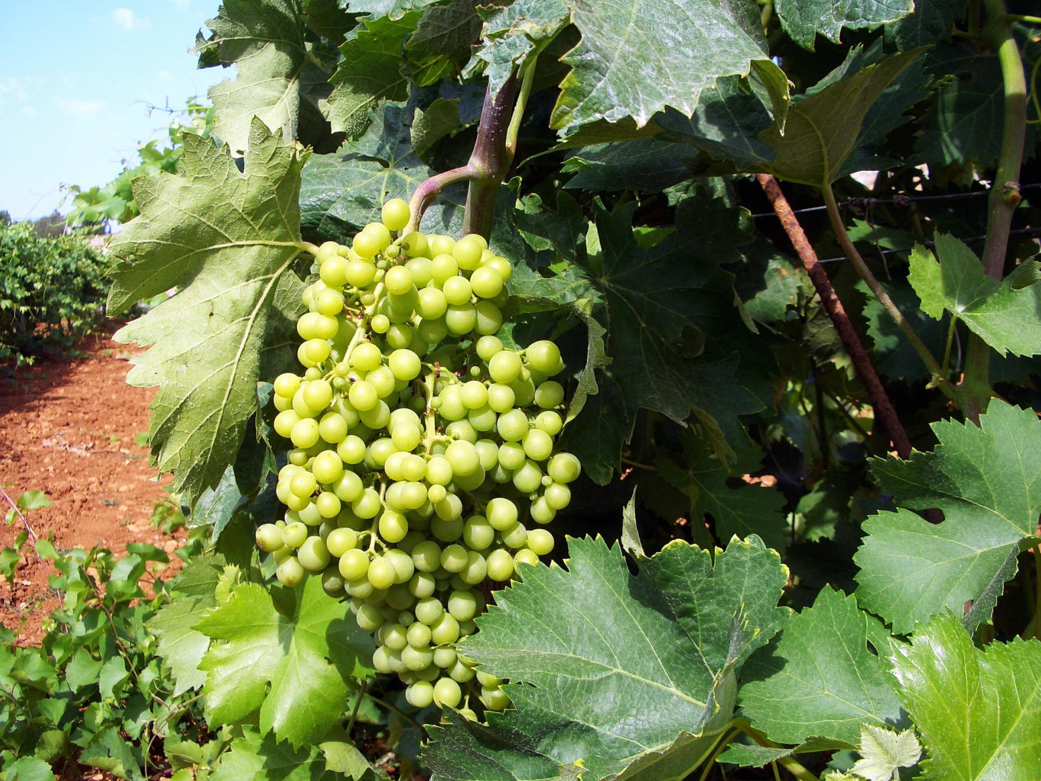 Macia Batles grapes