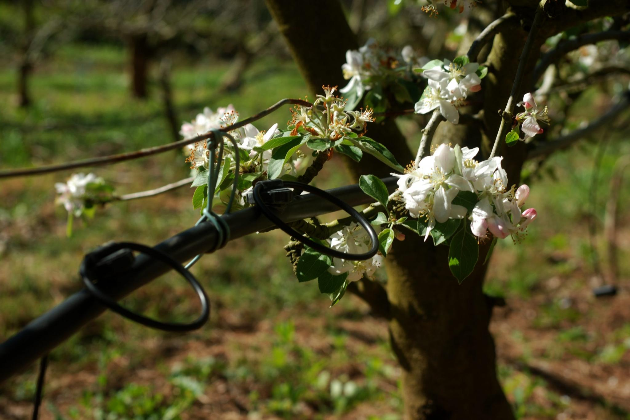 The Loquat's are in full flower