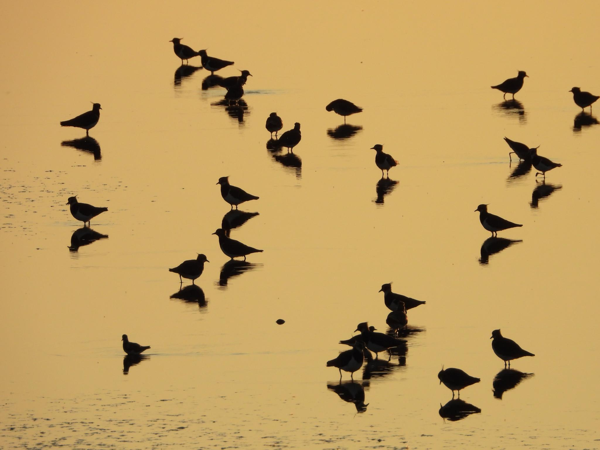 Sunset Lapwing