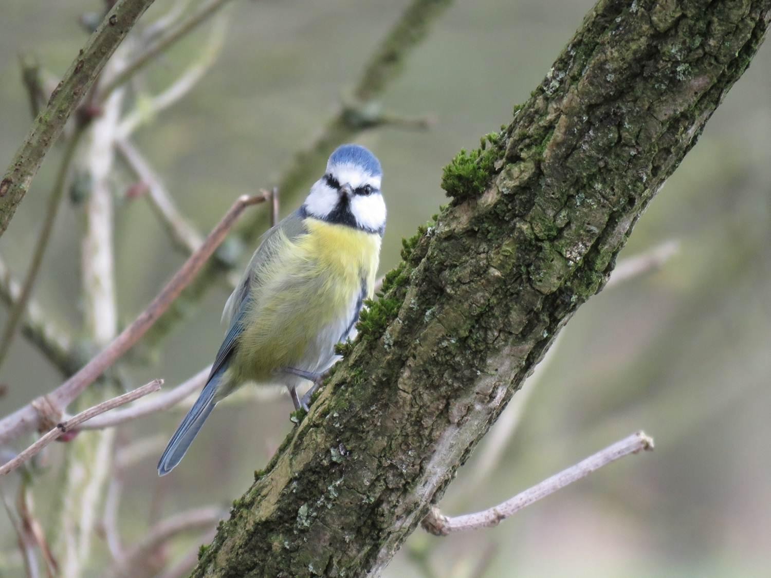 The Blue Tit - bird of the week