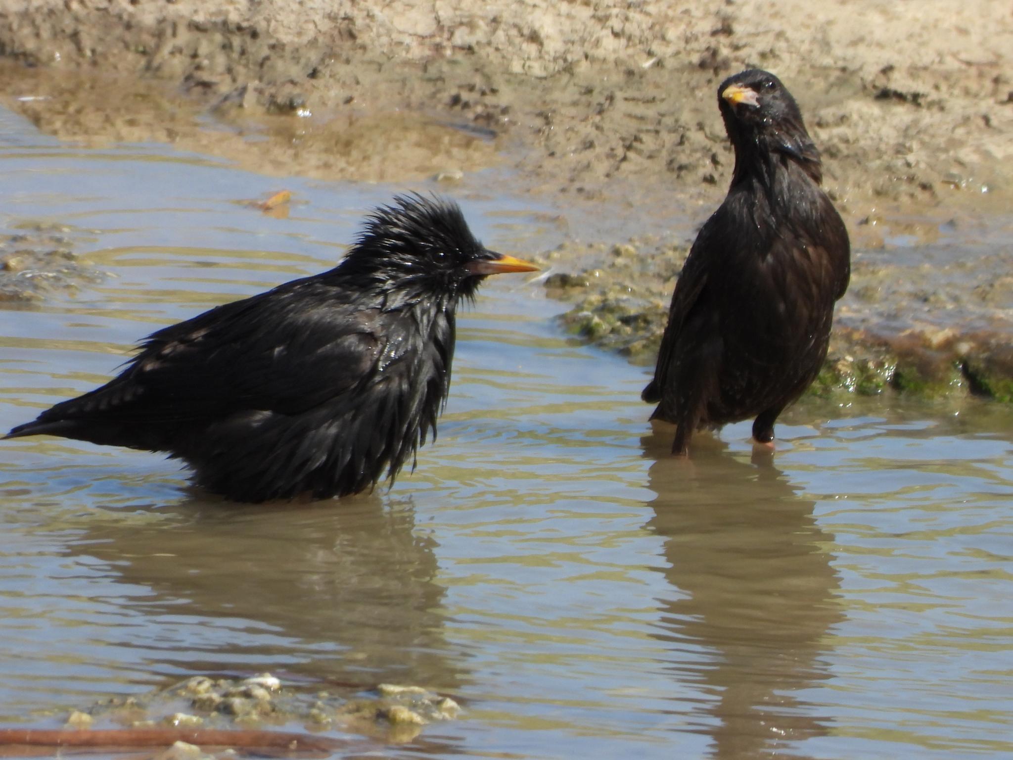 Spotless Starlings