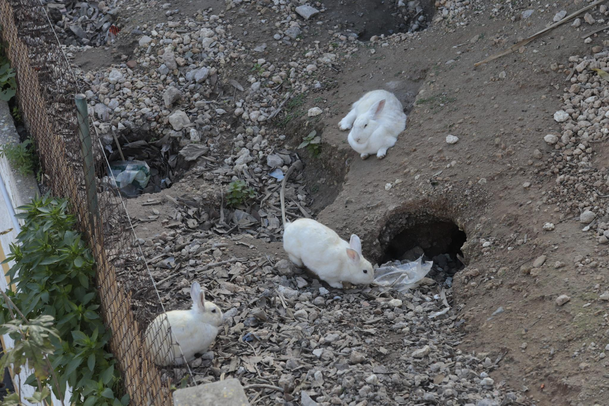 The abandoned site is home to 40 rabbits