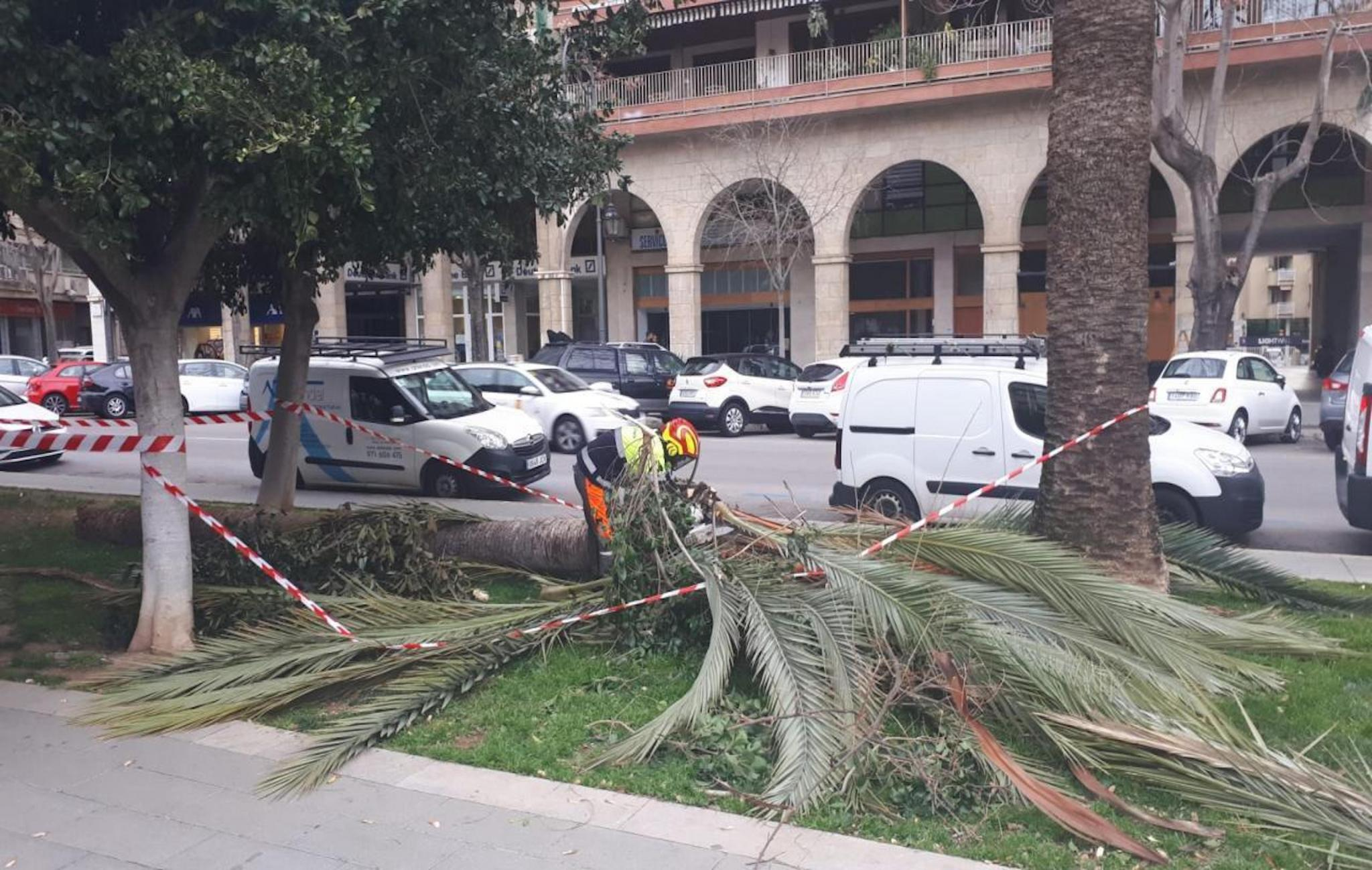 Gale force winds bring down tree in Paseo Mallorca.