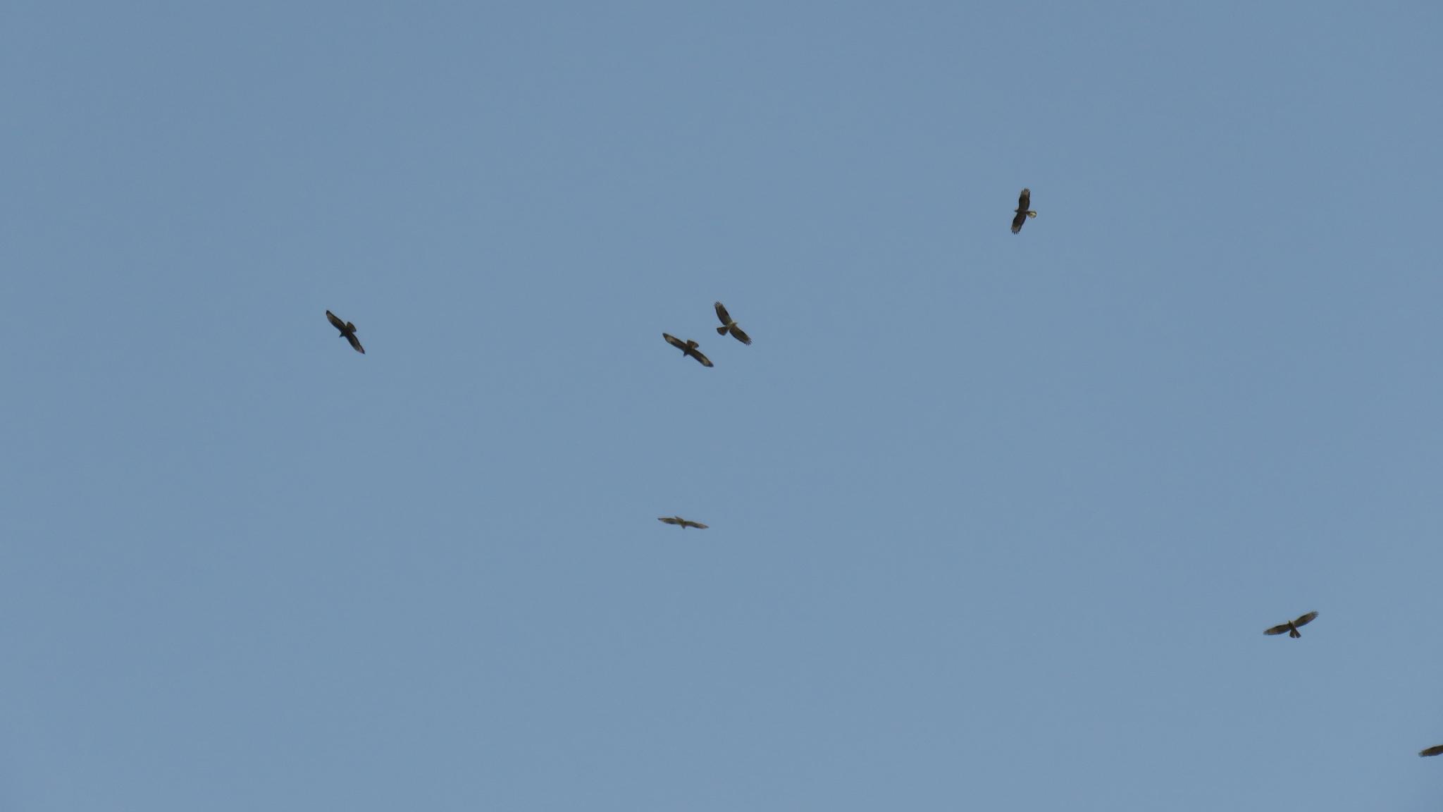 Migrating Honey Buzzards