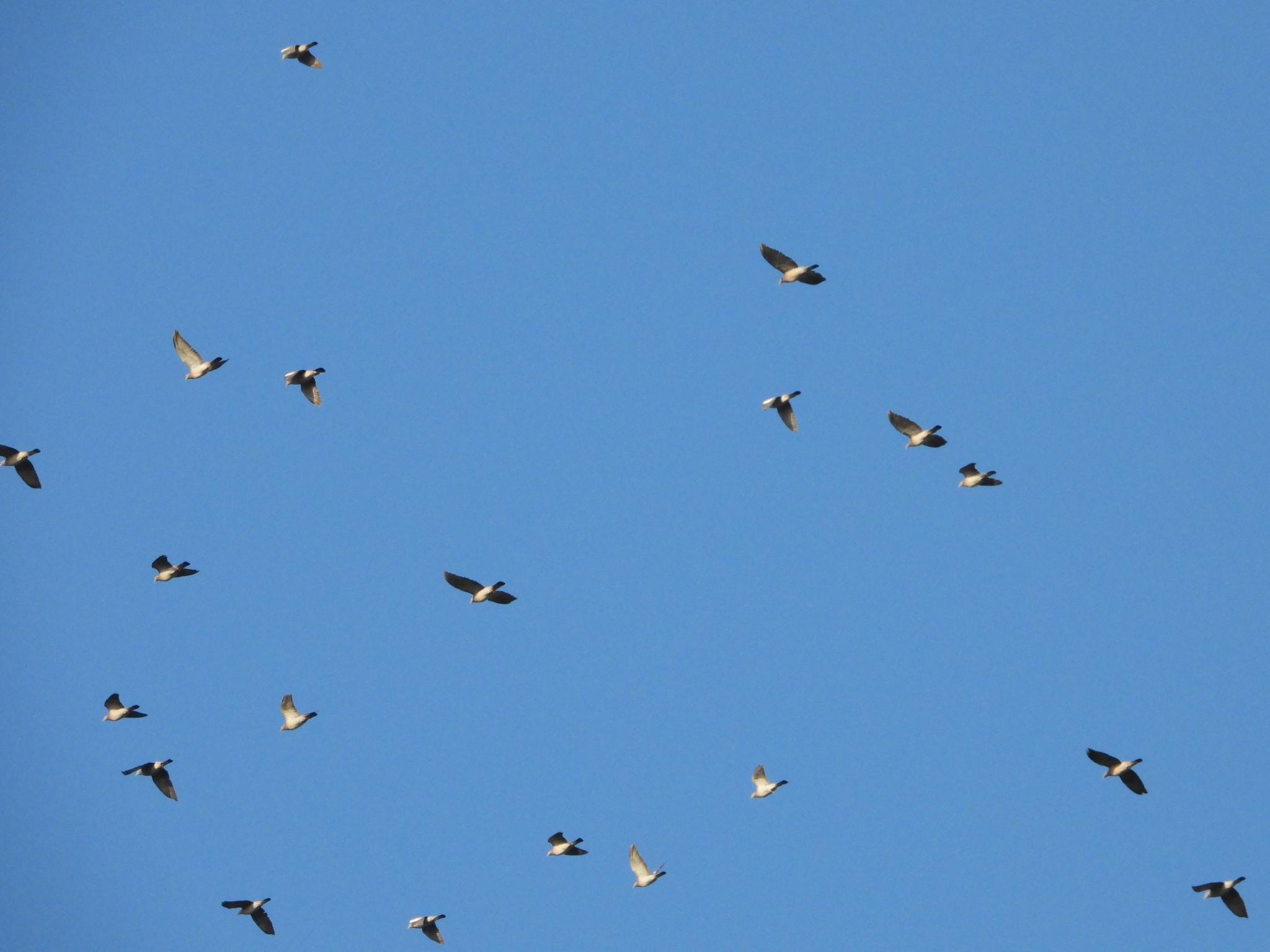 Migrating Woodpigeons