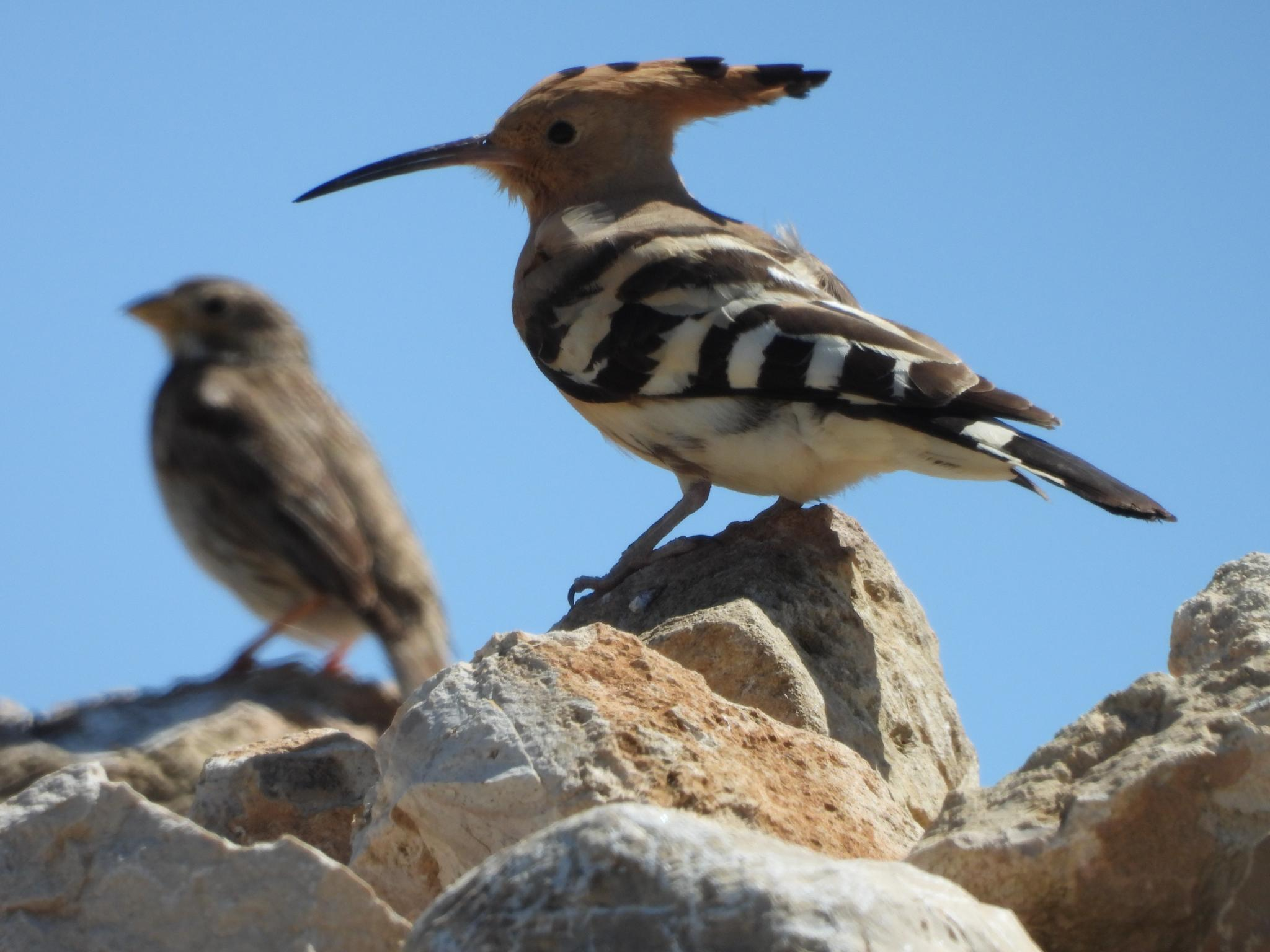 Hoopoe with a Corn Bunting in the background