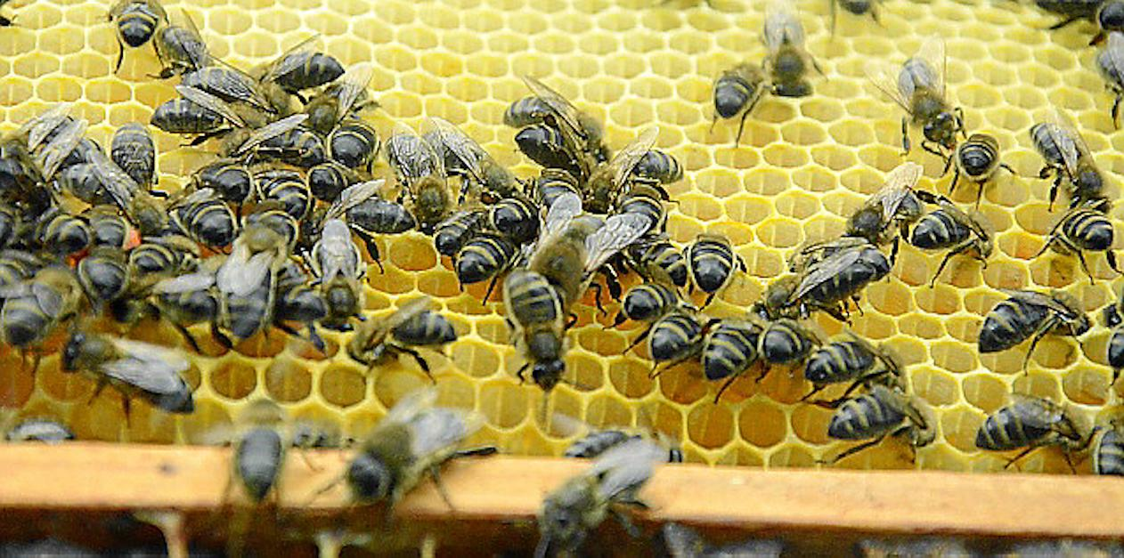 Bees on a honeycomb.