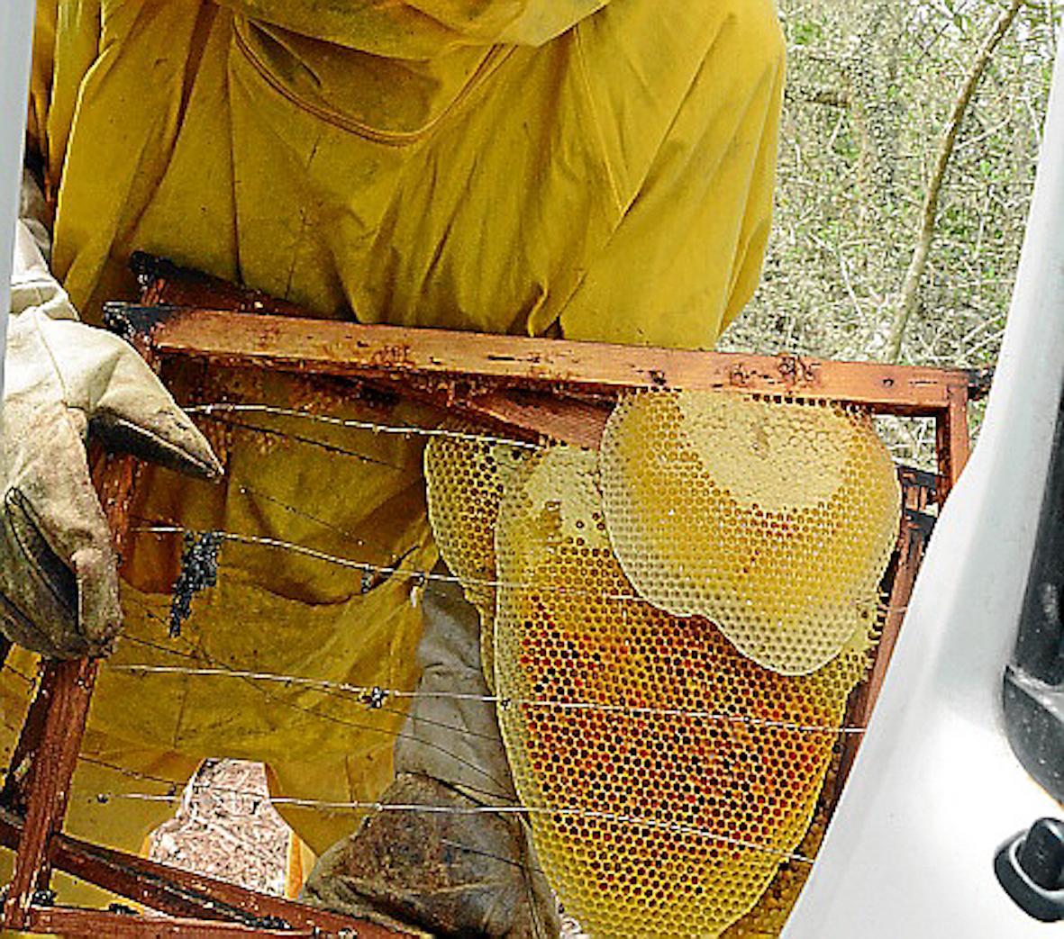 Tomeu Pizá collecting honey.