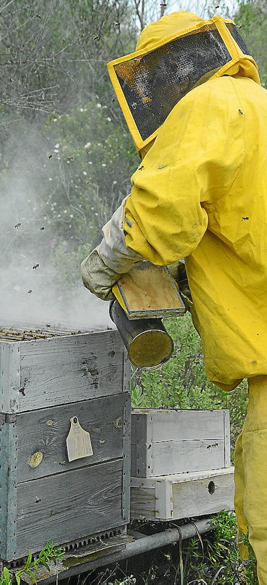 Tomeu Pizá inspecting a beehive.