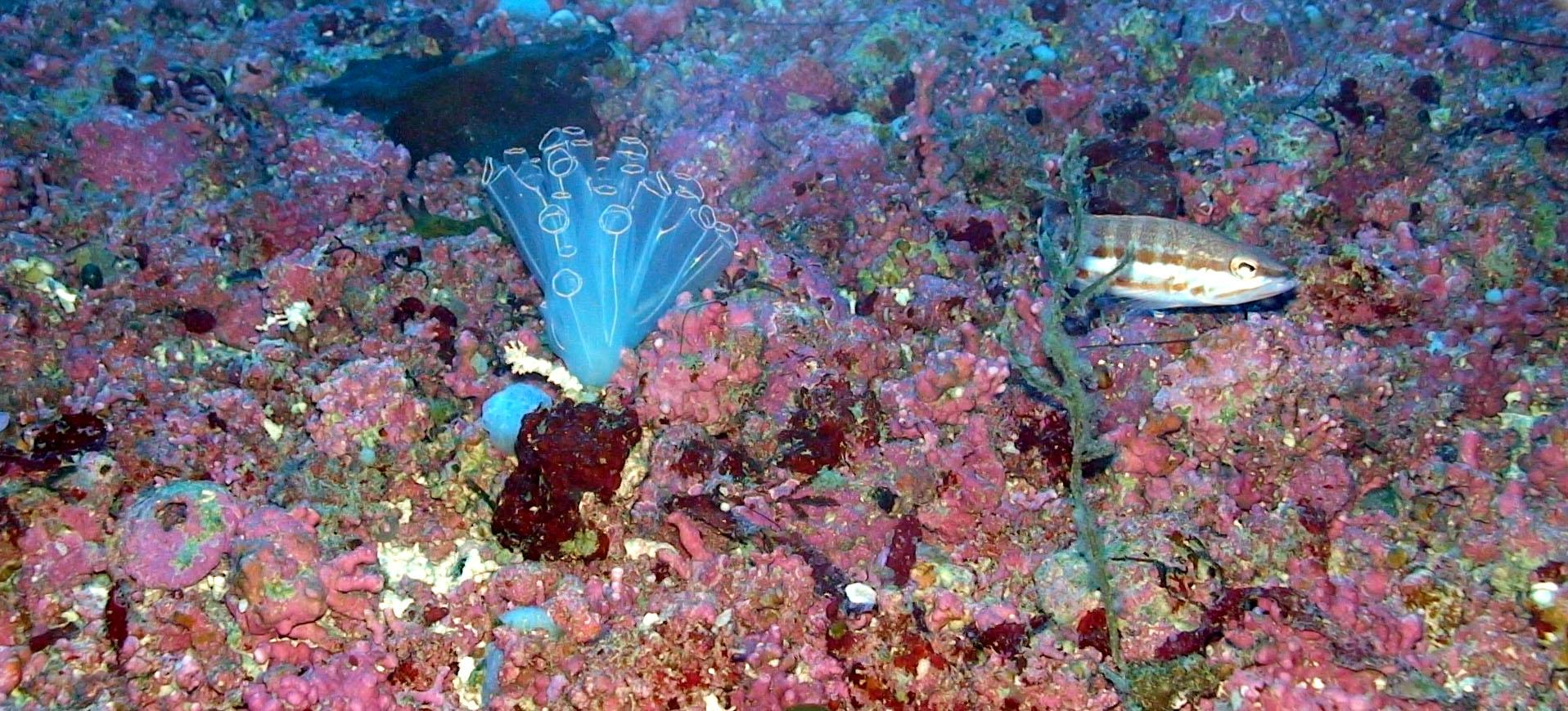 Native coralline red algae (pink) forming the maërl habitat.