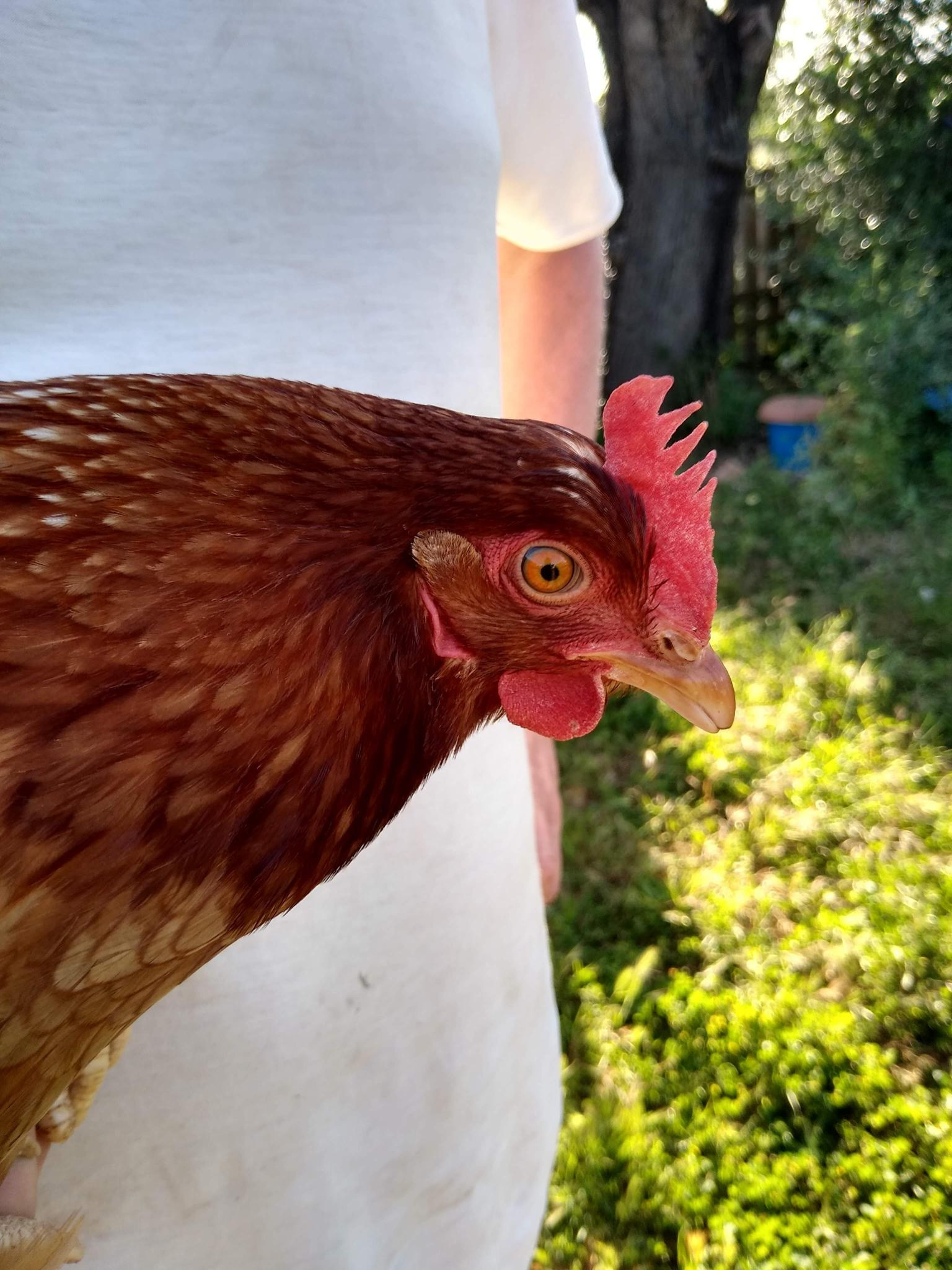 One very cross captured chicken