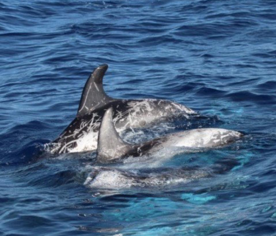 Risso's Dolphins have white marks on their bodies.