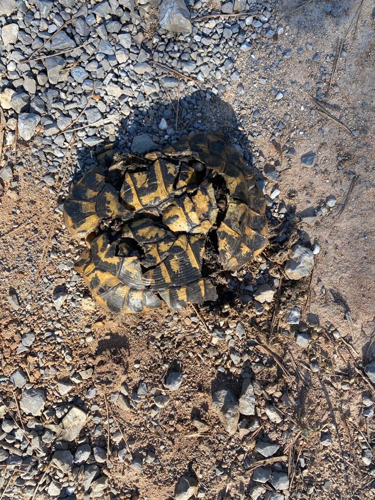 SANTA MARGALIDA - Decenas de tortugas aparecen muertas en la finca de Son Real.
