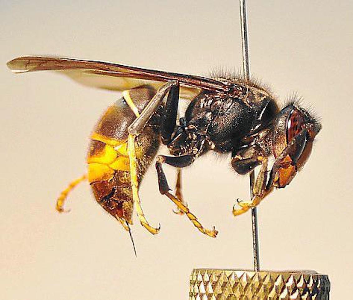 Asian wasp.