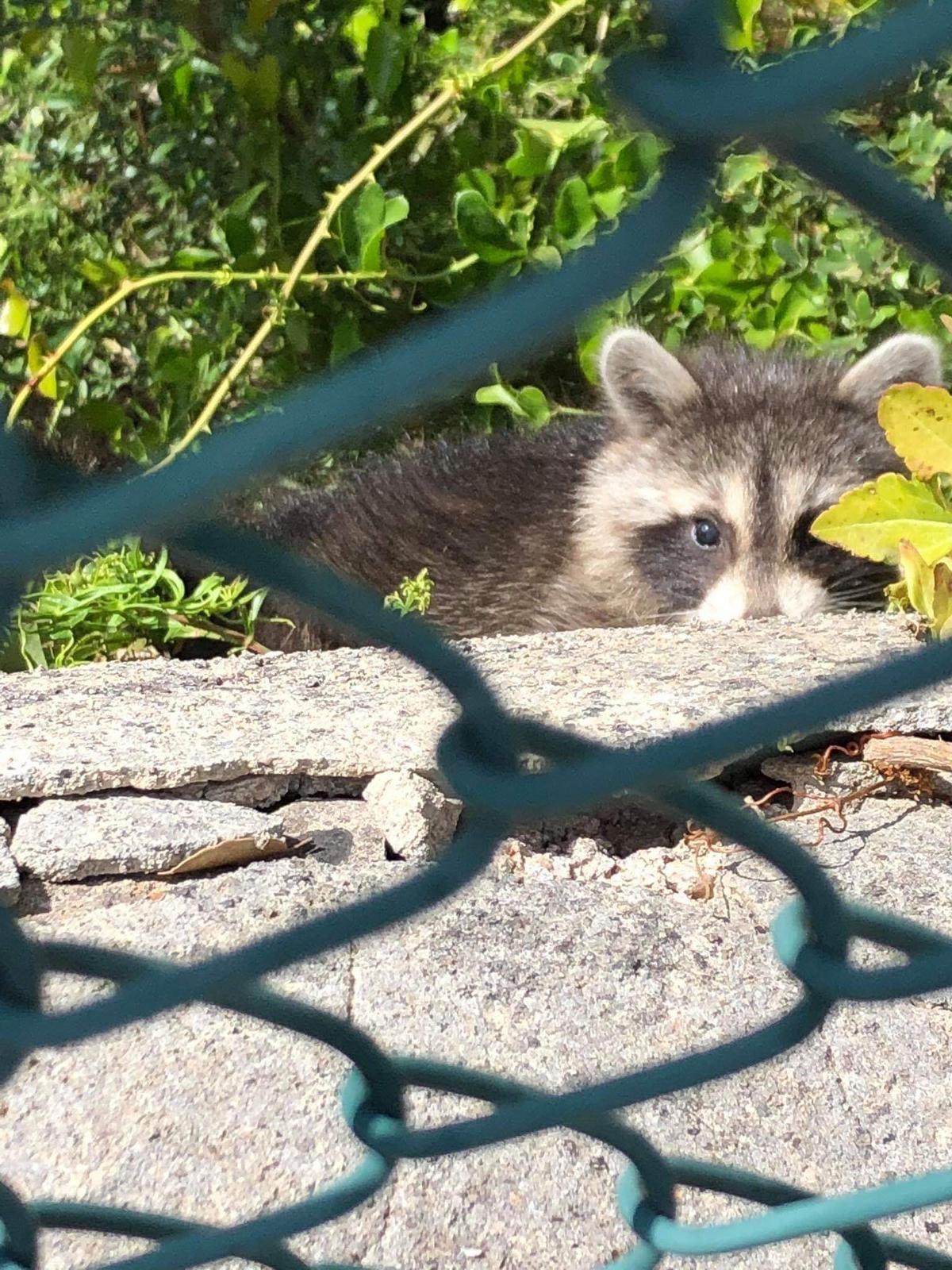 A raccoon was spotted in the Serra de Tramuntana.