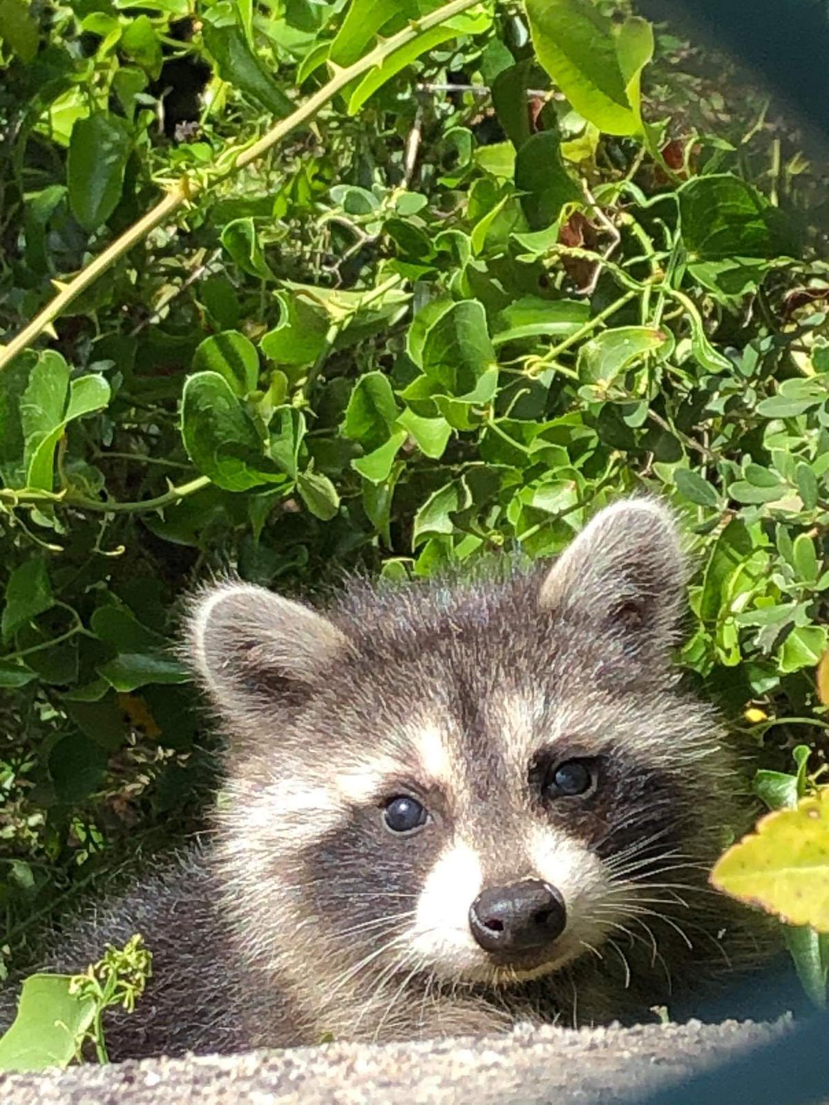 A raccoon spotted in the Serra de Tramuntana.