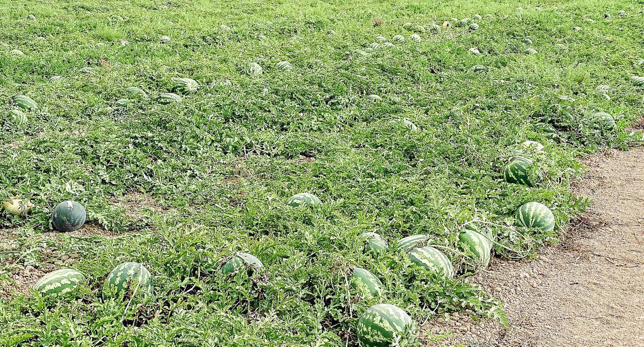 Watermelon Harvest has begun in Majorca.