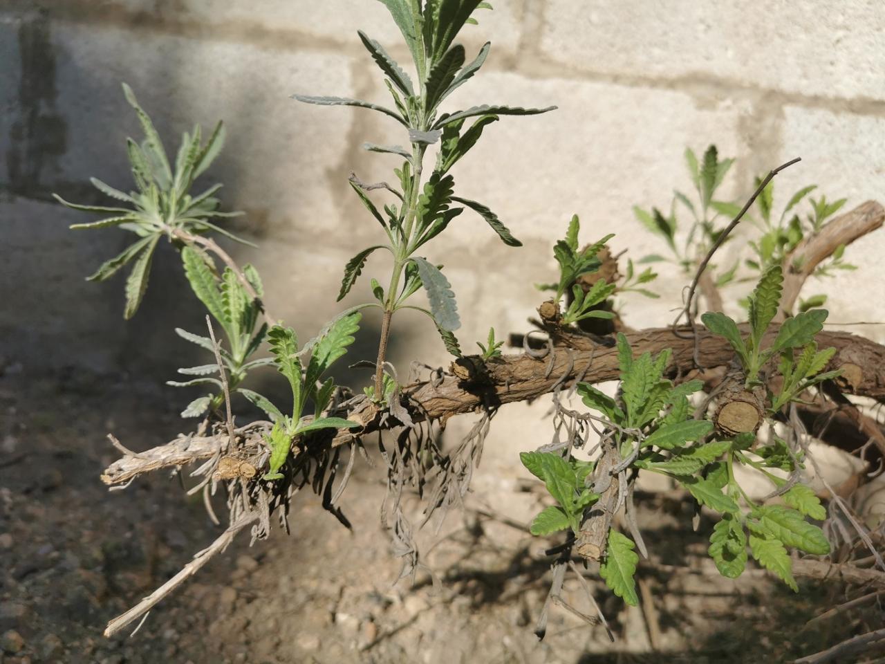 Pruned lavender cut back to the hard wood a few weeks ago