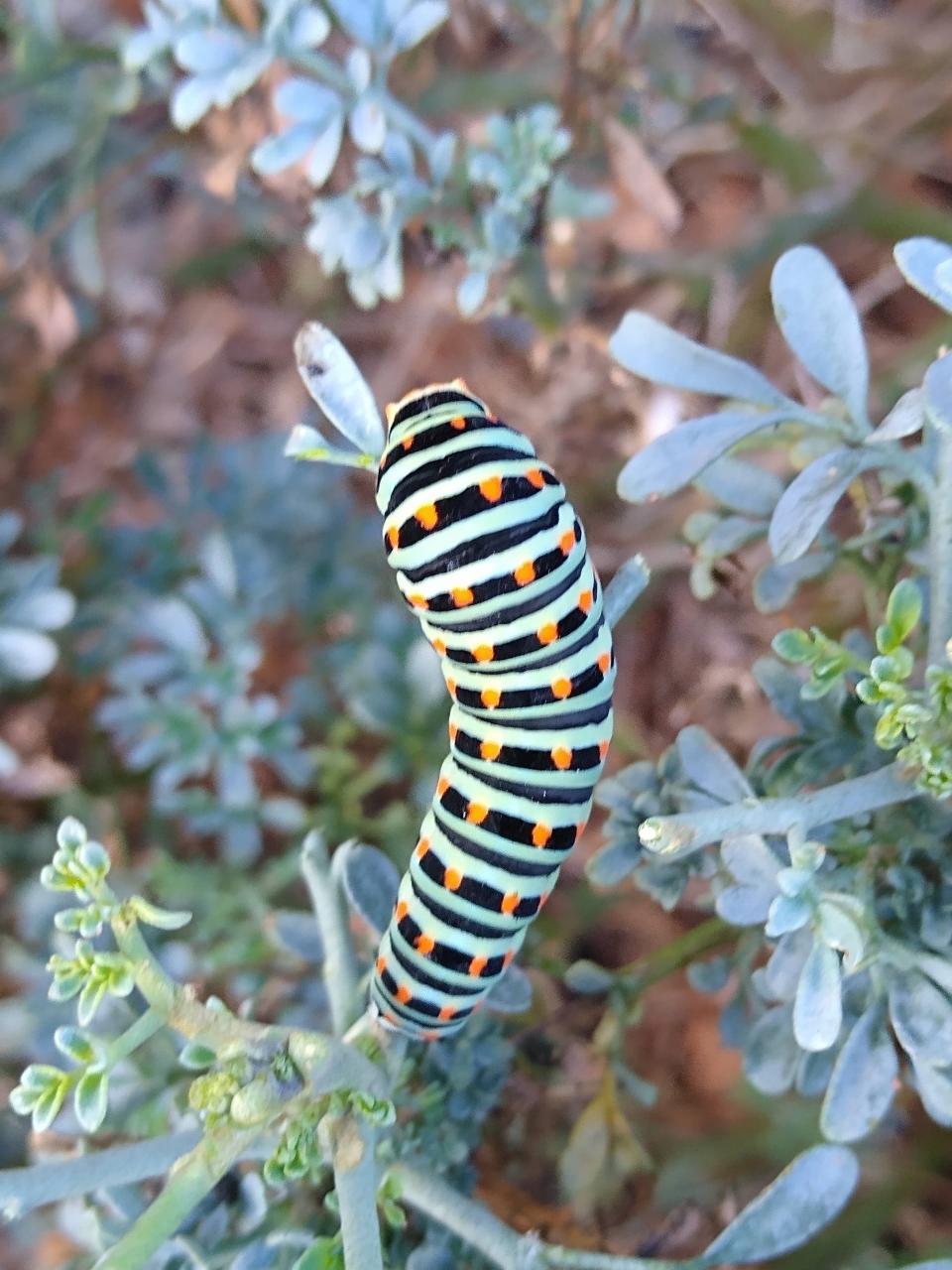 A beautiful Swallow Tail Caterpillar