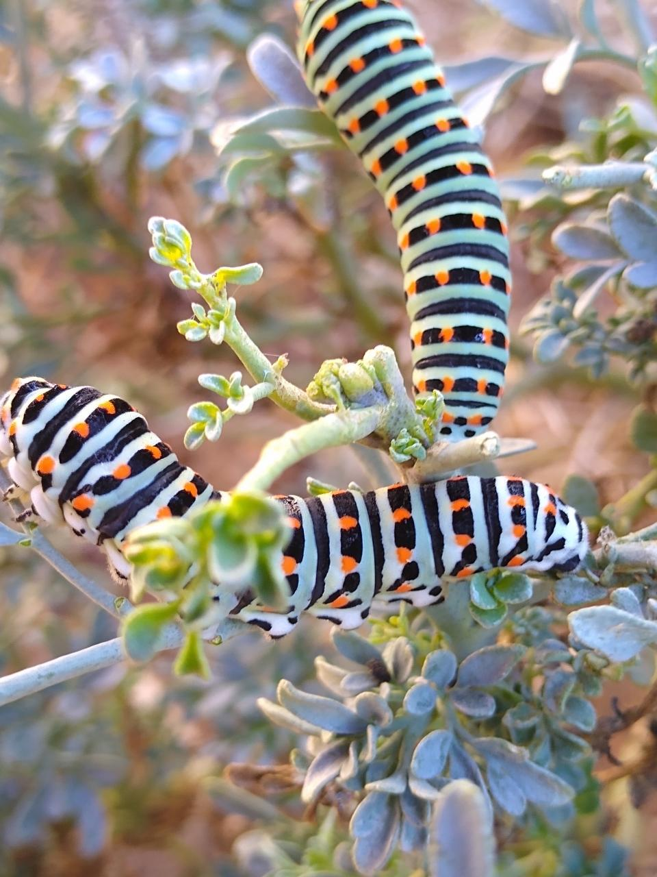 Swallow Tail Caterpillars