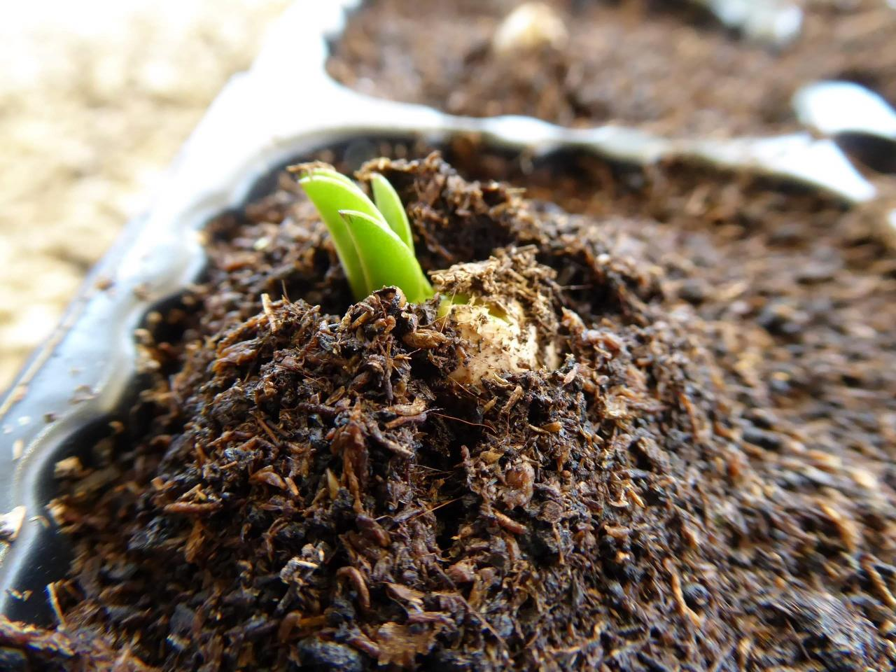 Peanut Sprouting