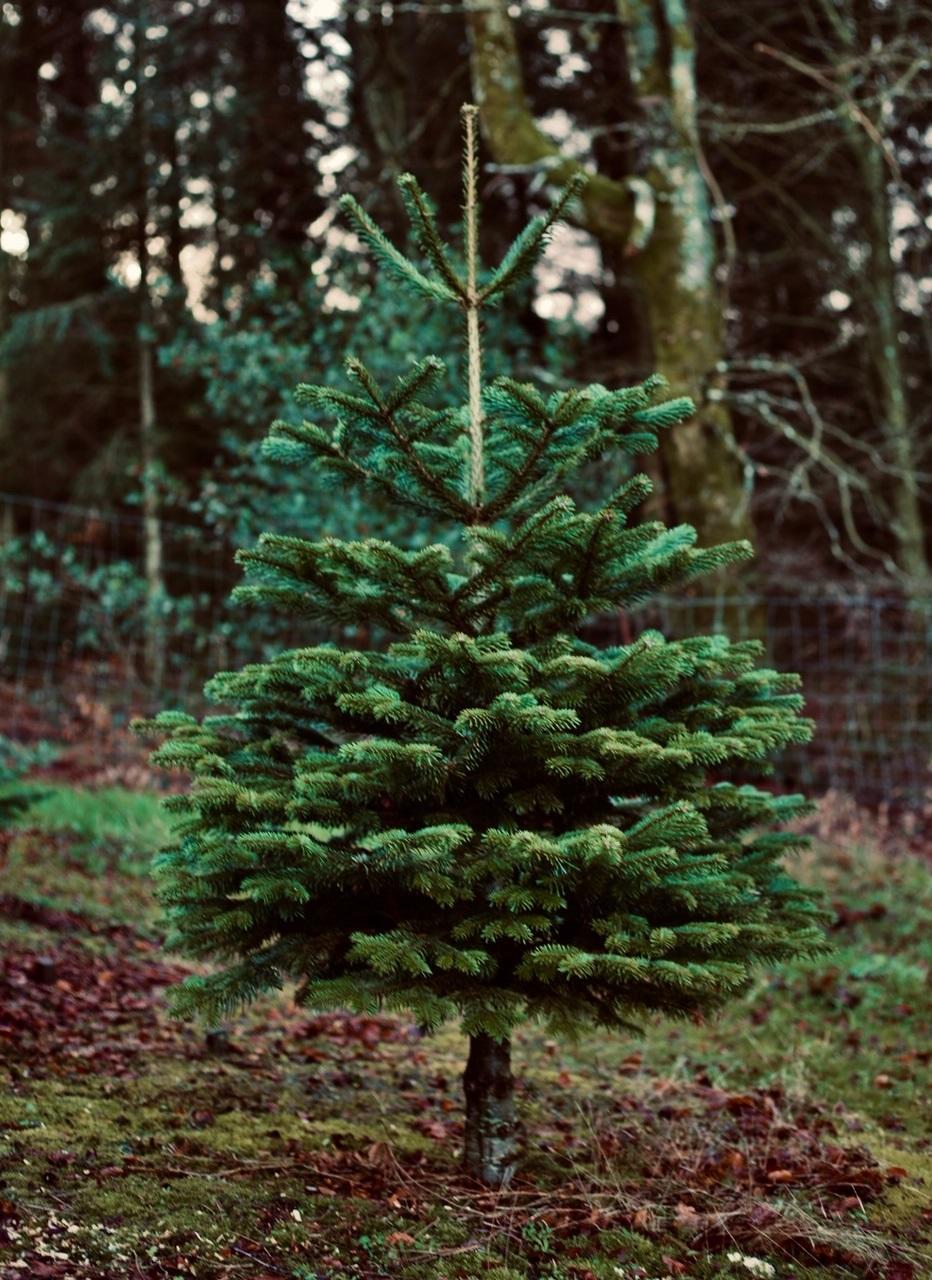 Beautiful Norwegian fir tree
