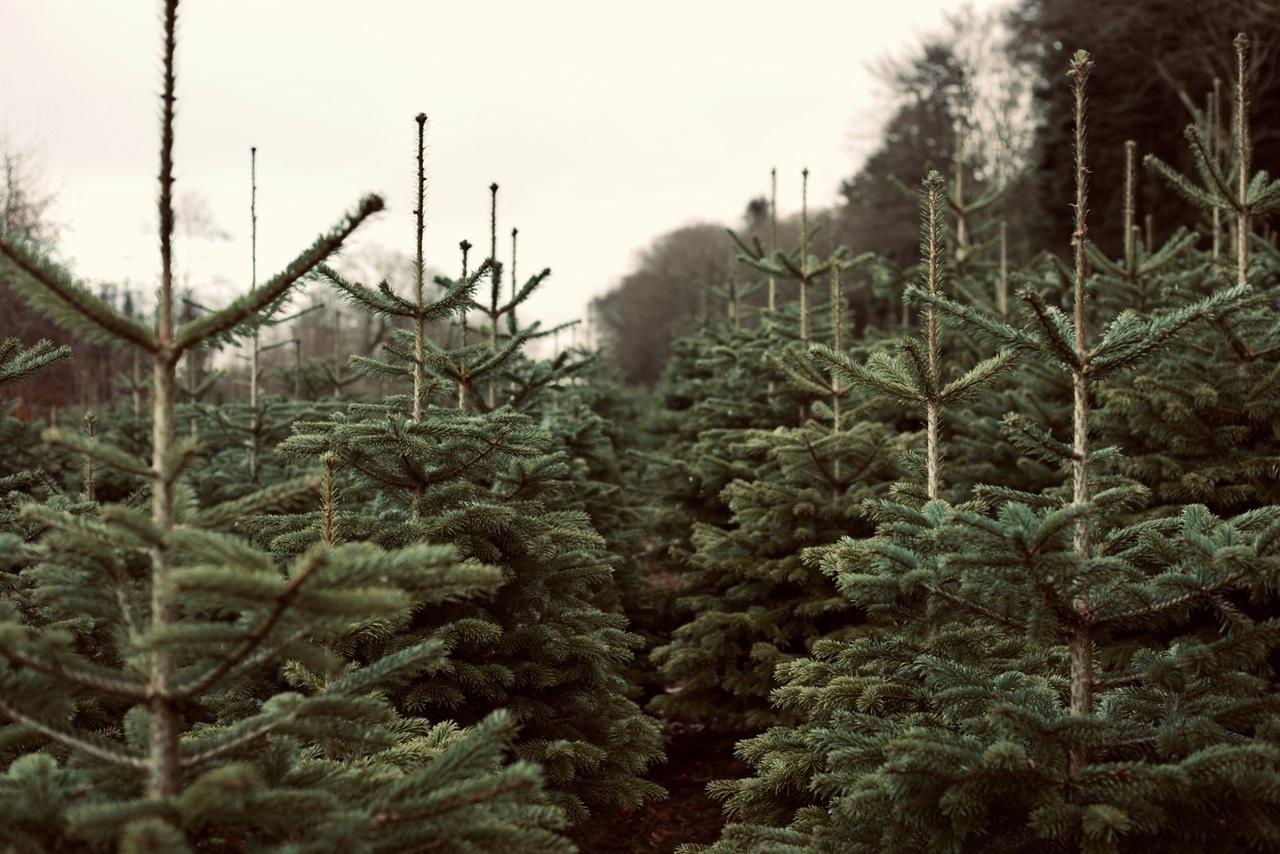 Norwegian Fir trees
