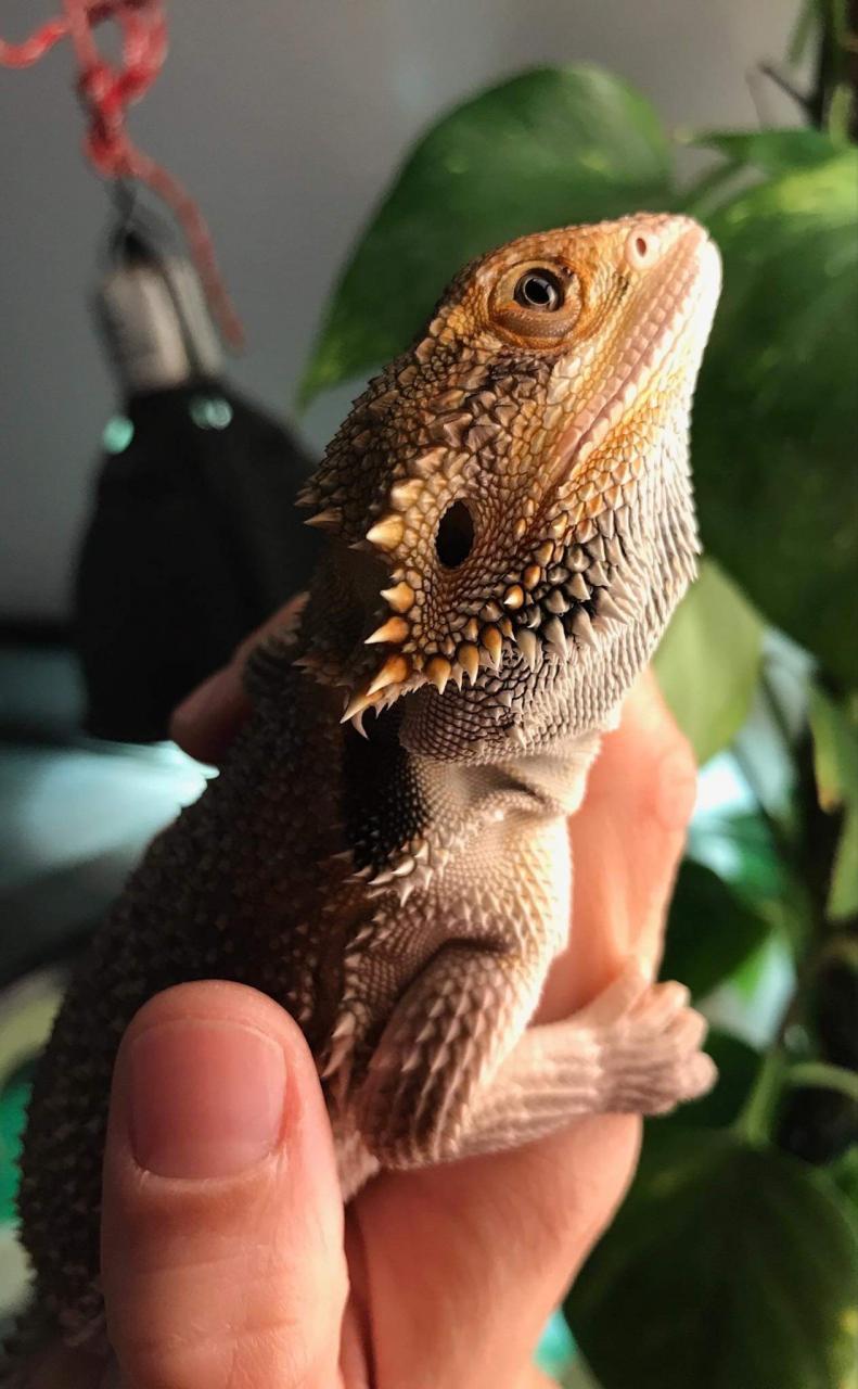 AJ - Bearded Dragon