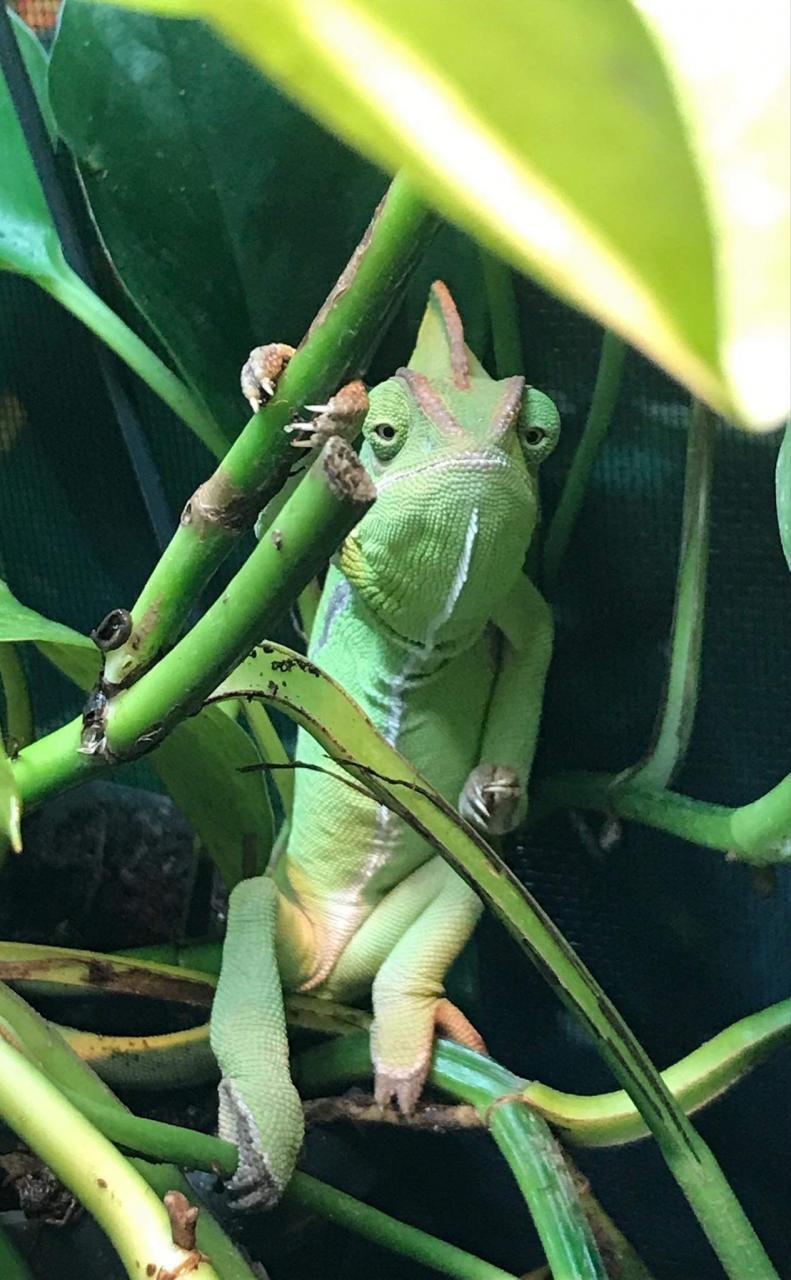 Princess Fiona - a Veiled Chameleon