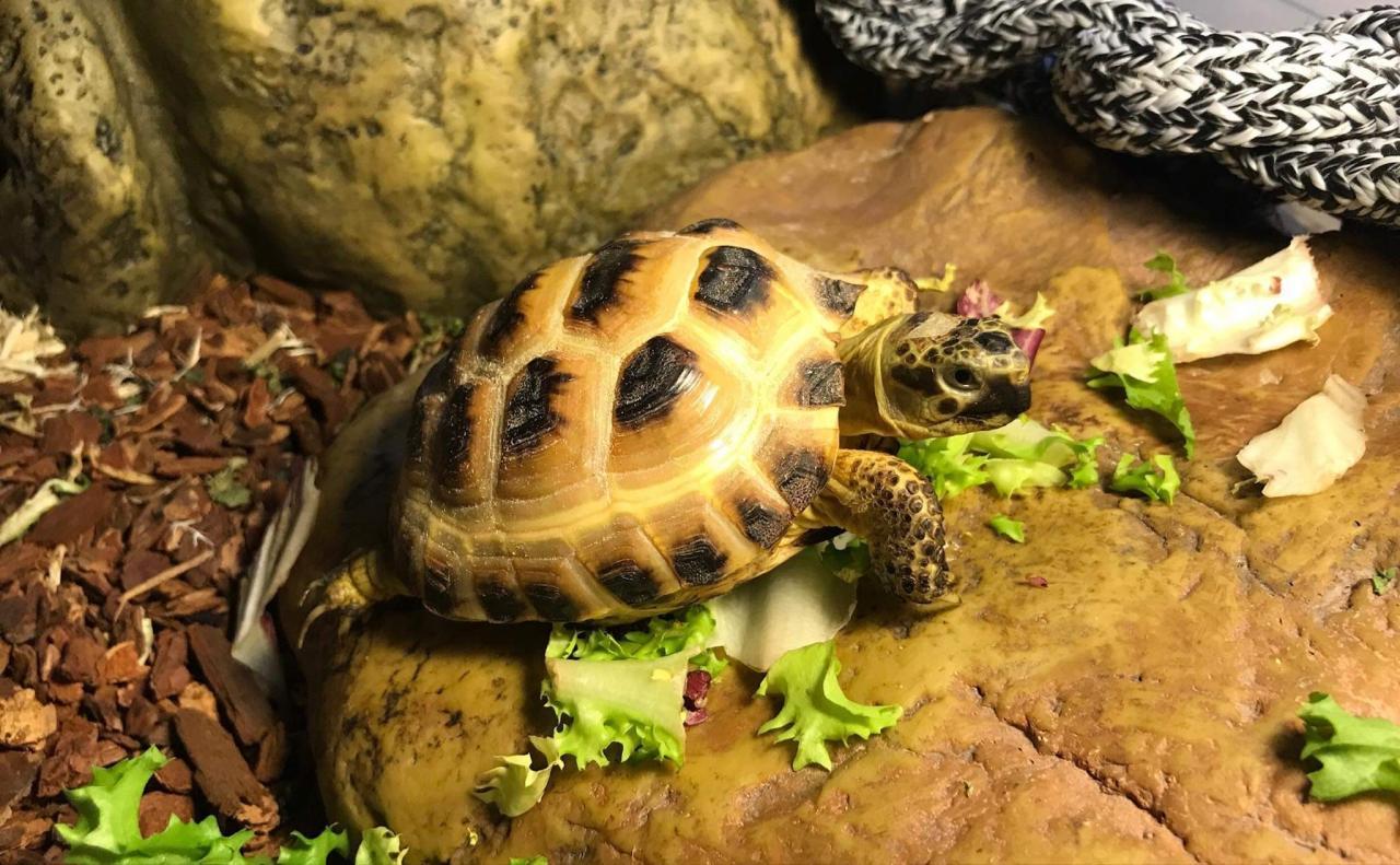 Sheldon - A Russian Tortoise