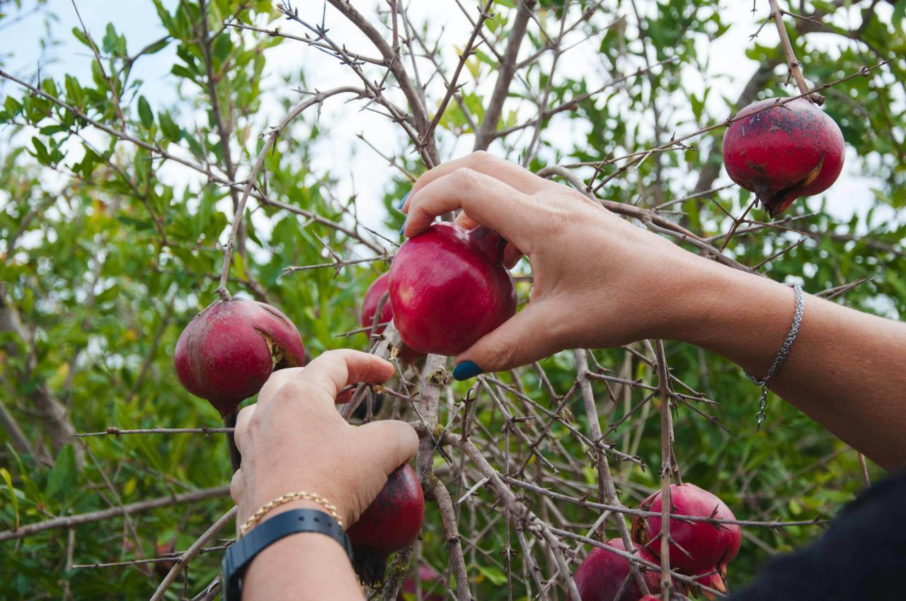 Pomegranate tree on the farm.