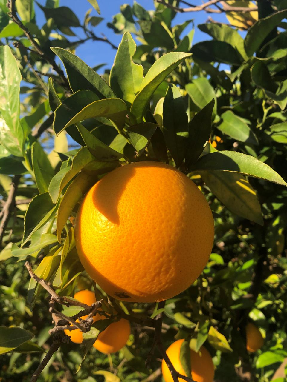 Soller oranges for your stocking