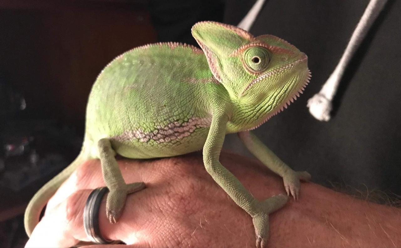 Fiona - A Veiled Chameleon