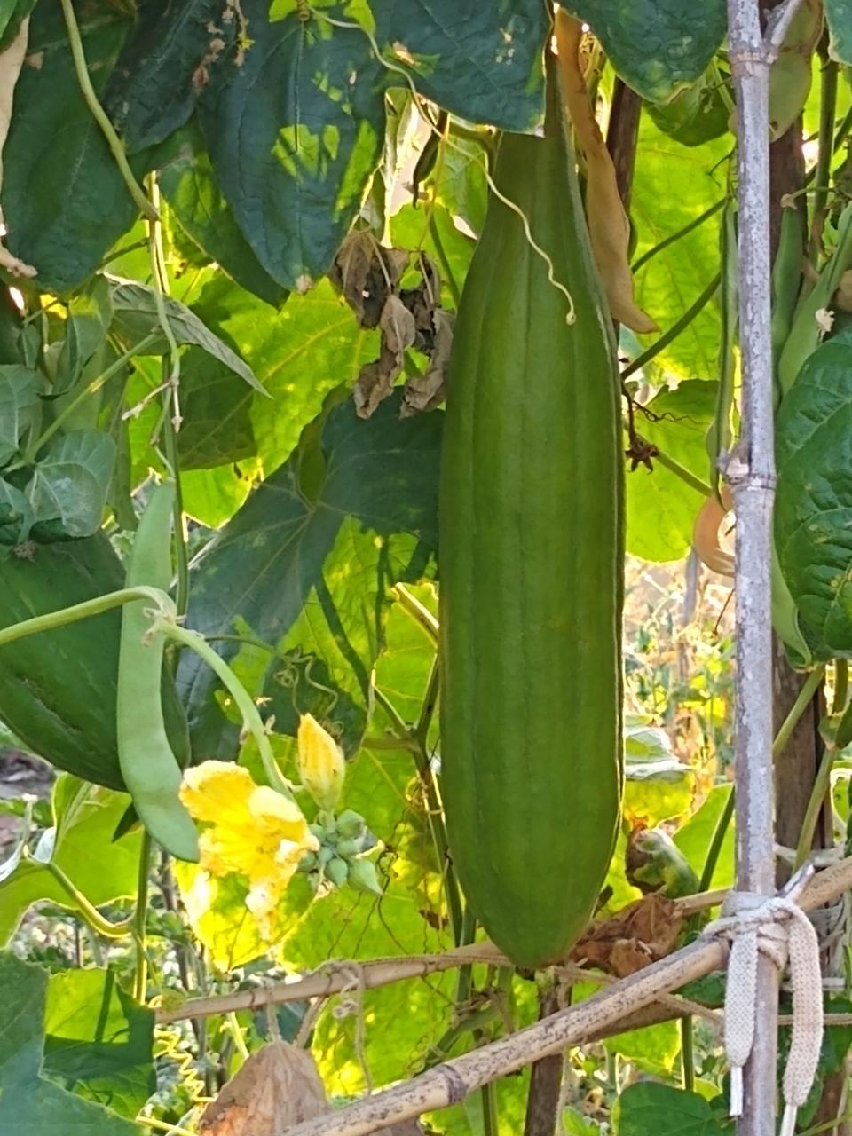 Luffa's did well this year