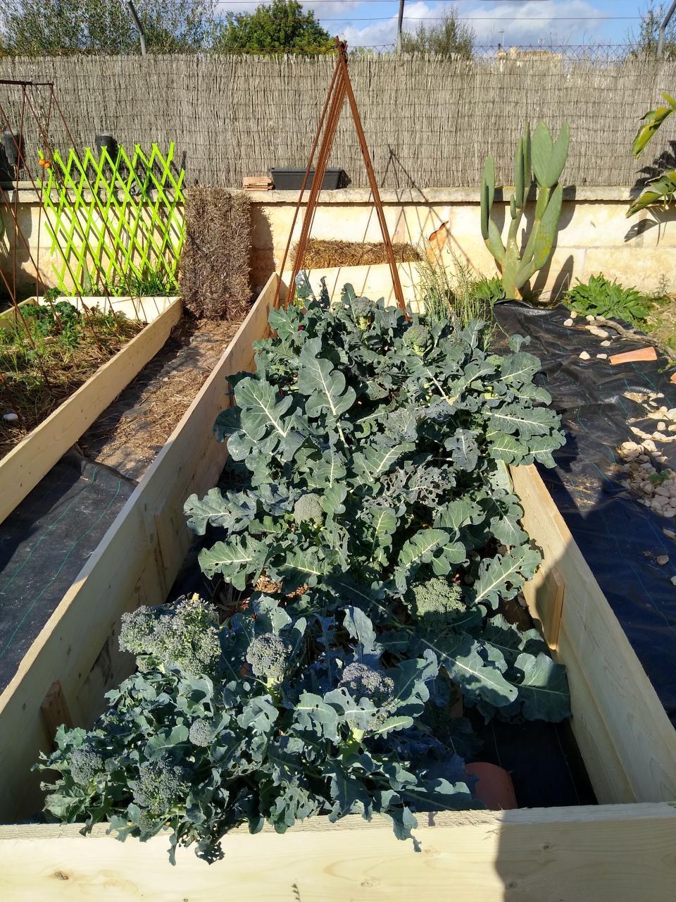 Rows of Broccoli