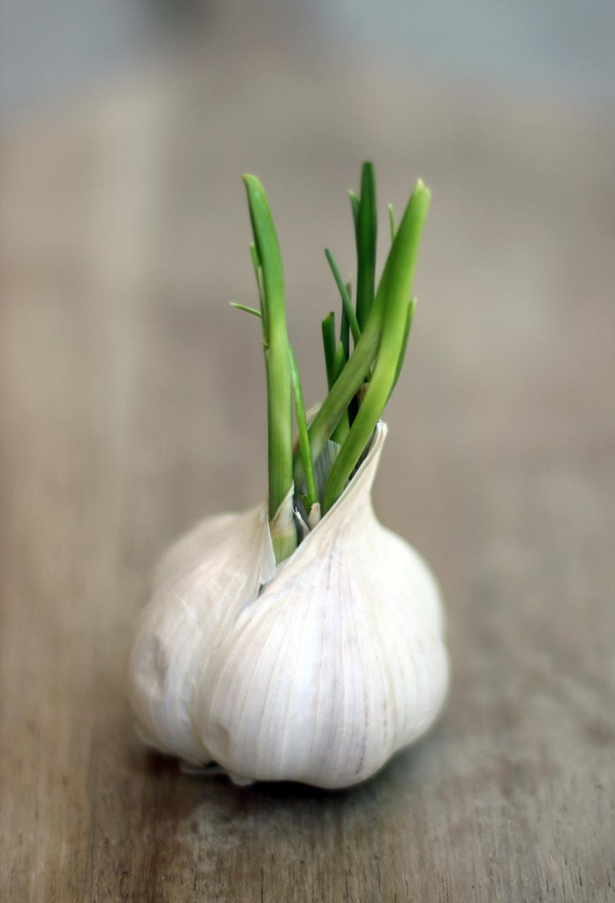 srouted garlic clove