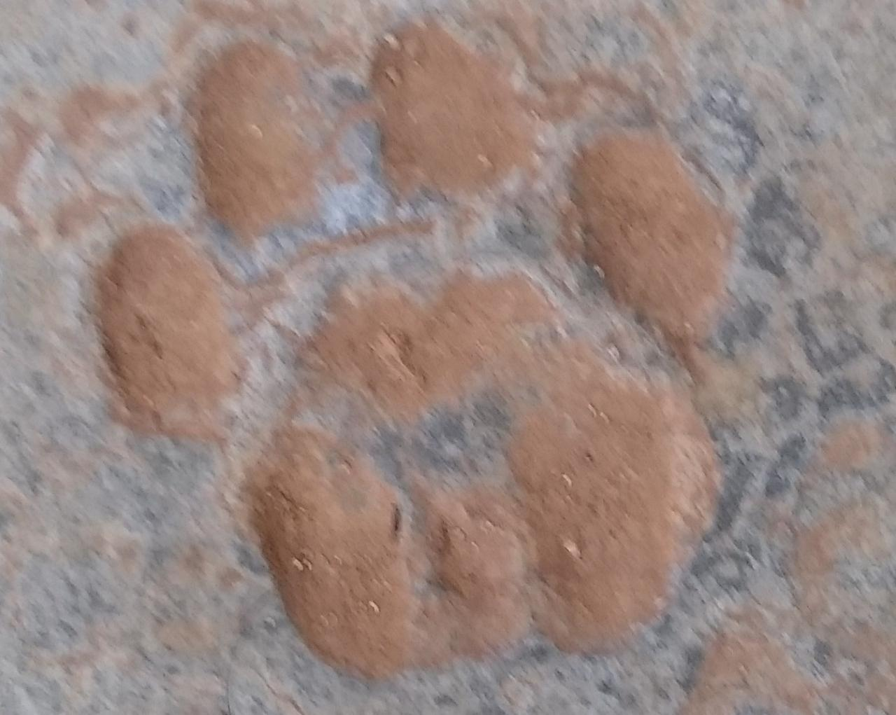Canela pawprint