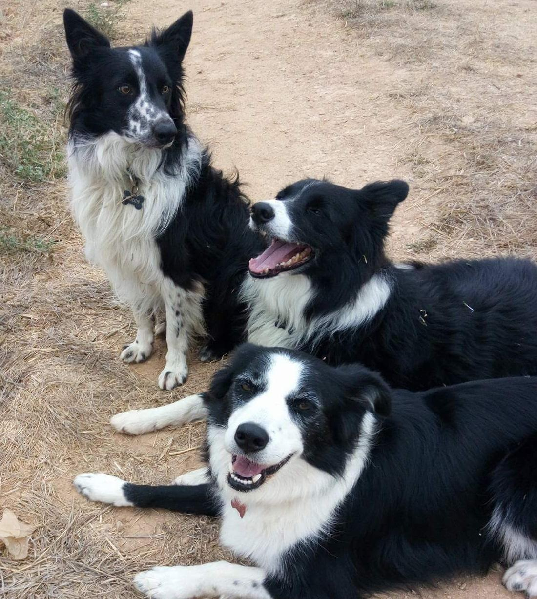 (sitting up) Sylvester, Brady and Mollie Collie