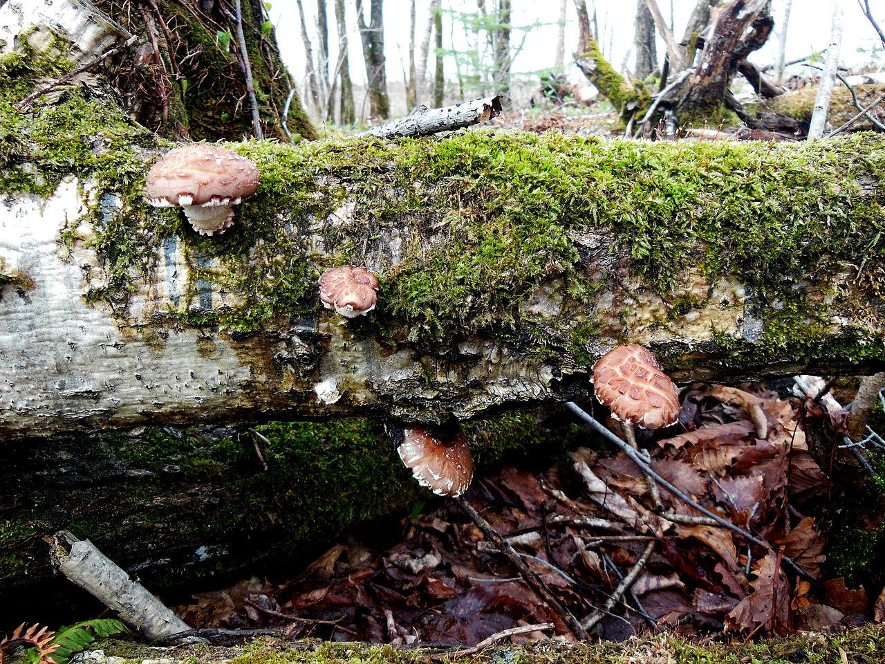 Wild Shiitake Mushroom