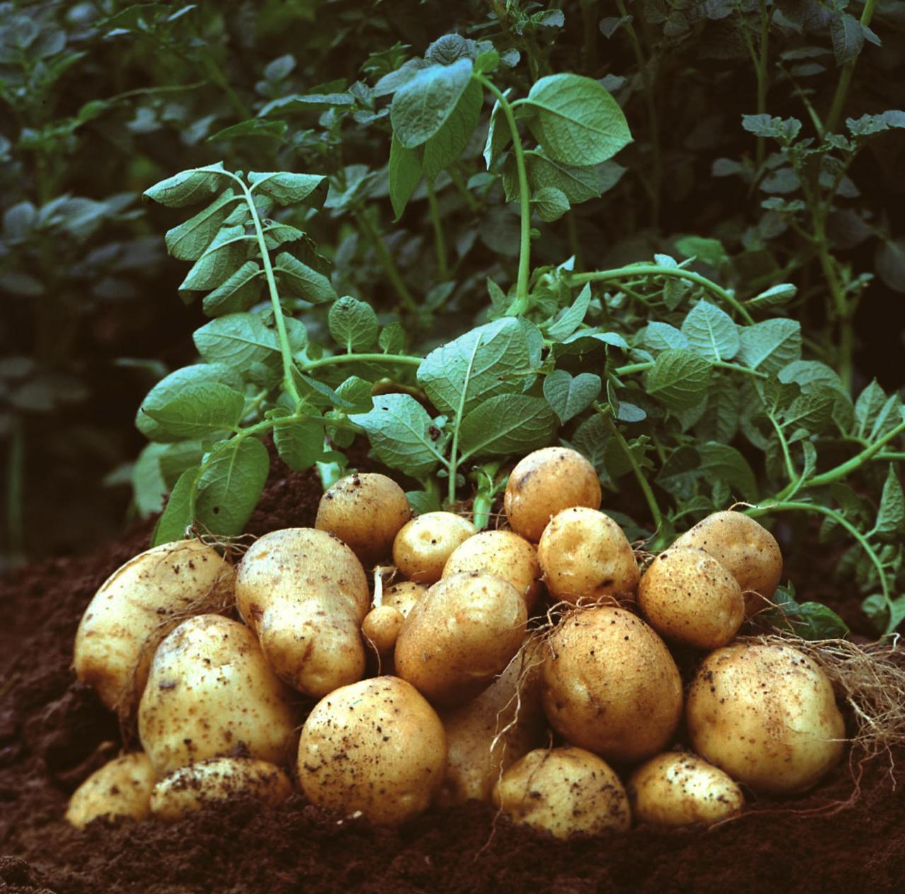 Potatoes in Majorca