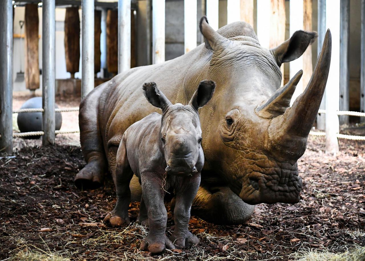 The Royal Burgers' Zoo welcomed a newly-born white rhinoceros in Arnhem