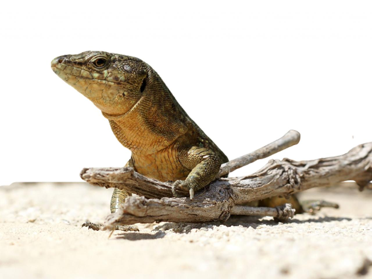 An example of the Balearic Lizard in Minorca