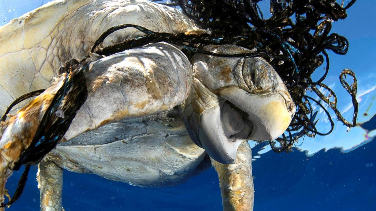 Turtle trapped in ghost fishing articles.