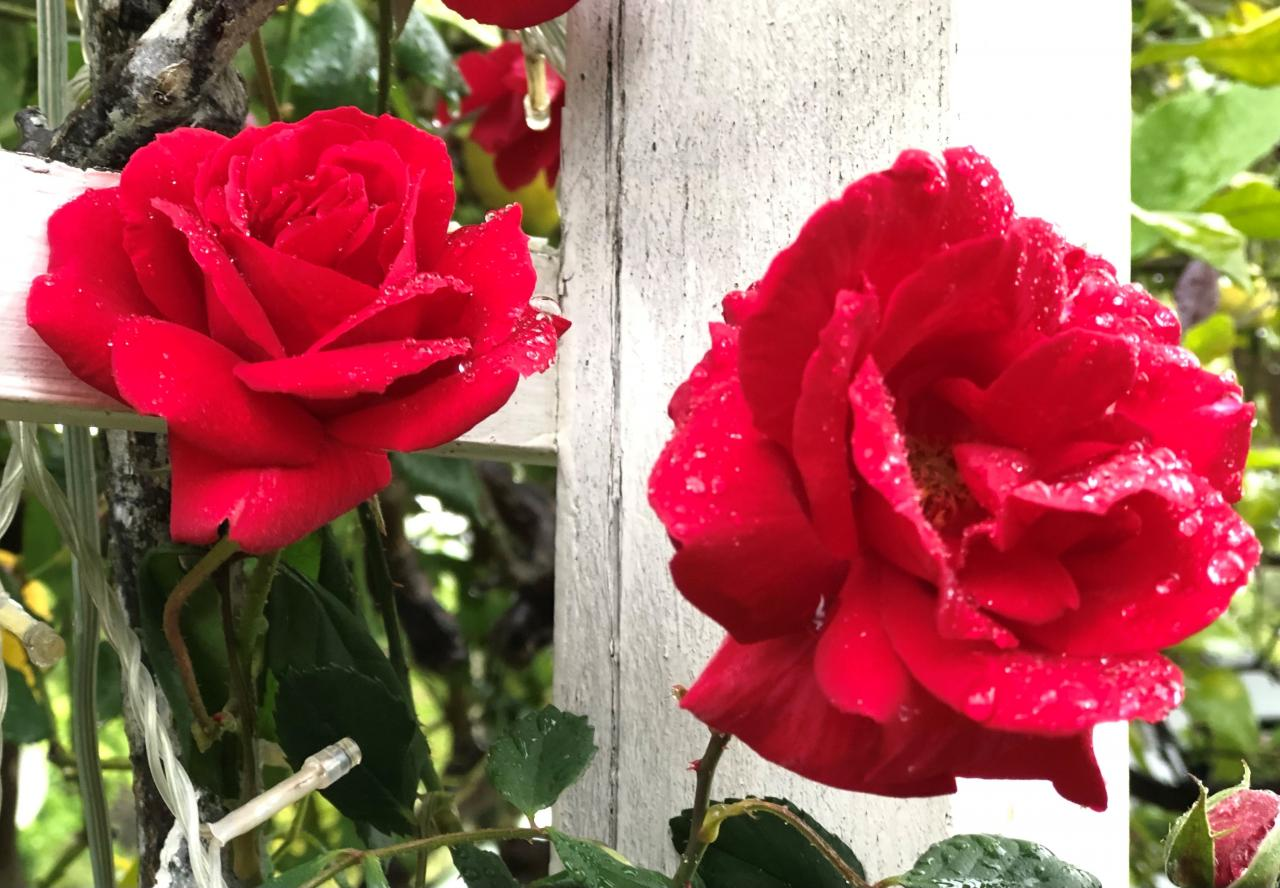 Roses for Saint George