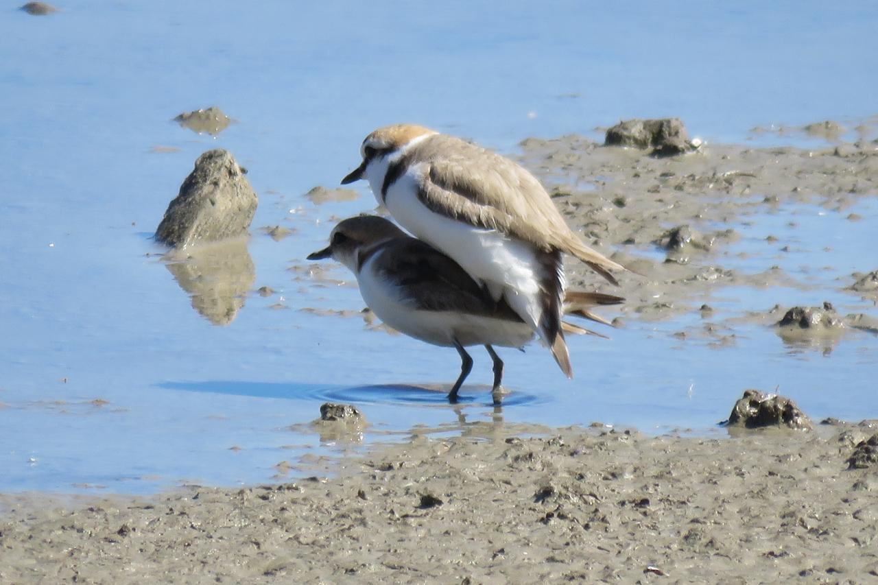Pair of Kentish Plovers