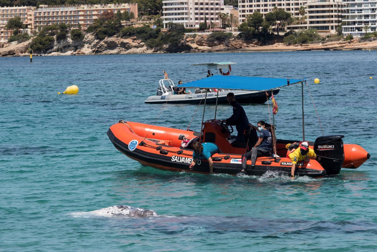 Una ballena gris enferma nada en la costa de Mallorca