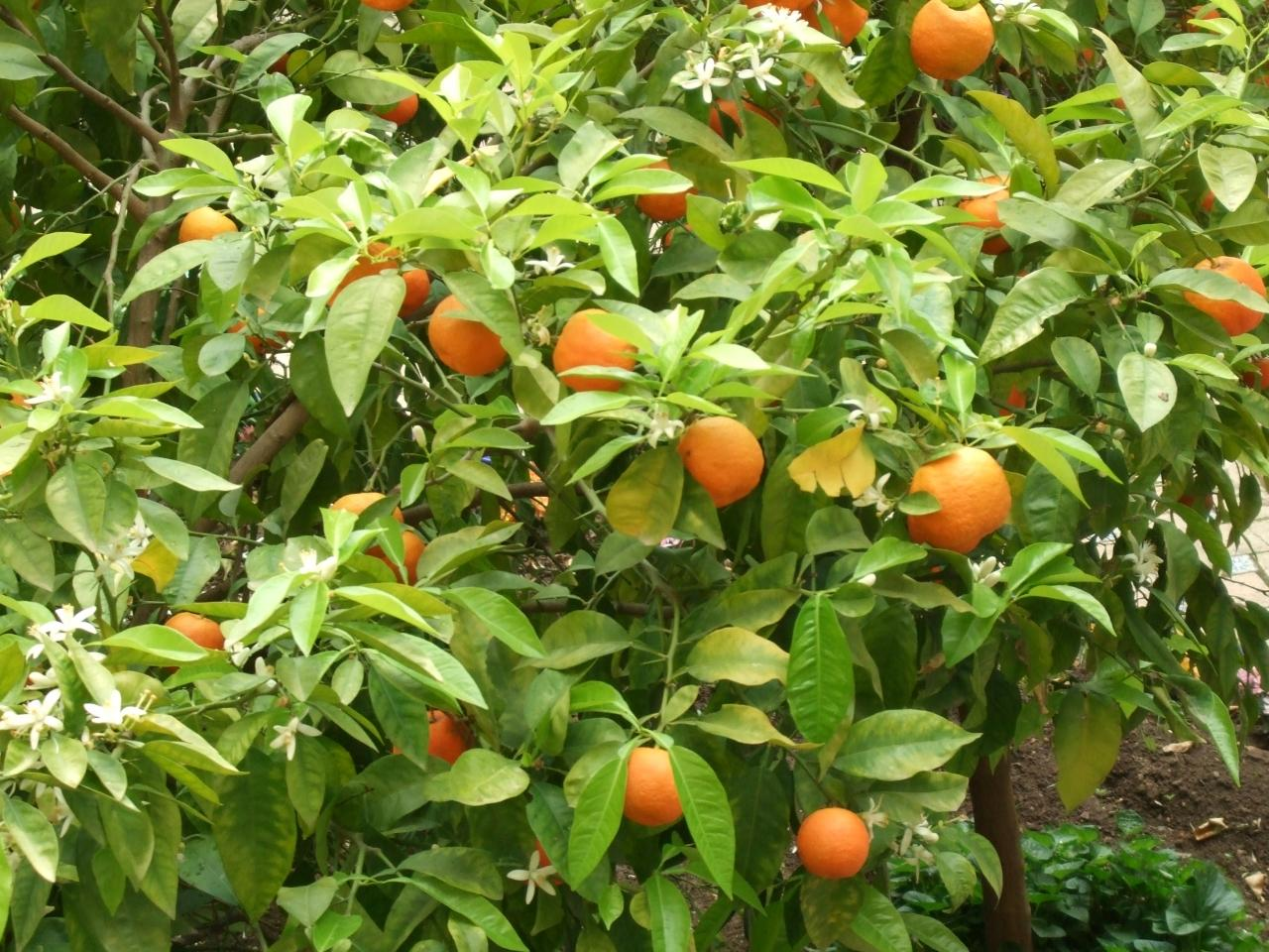 Bitter Orange tree
