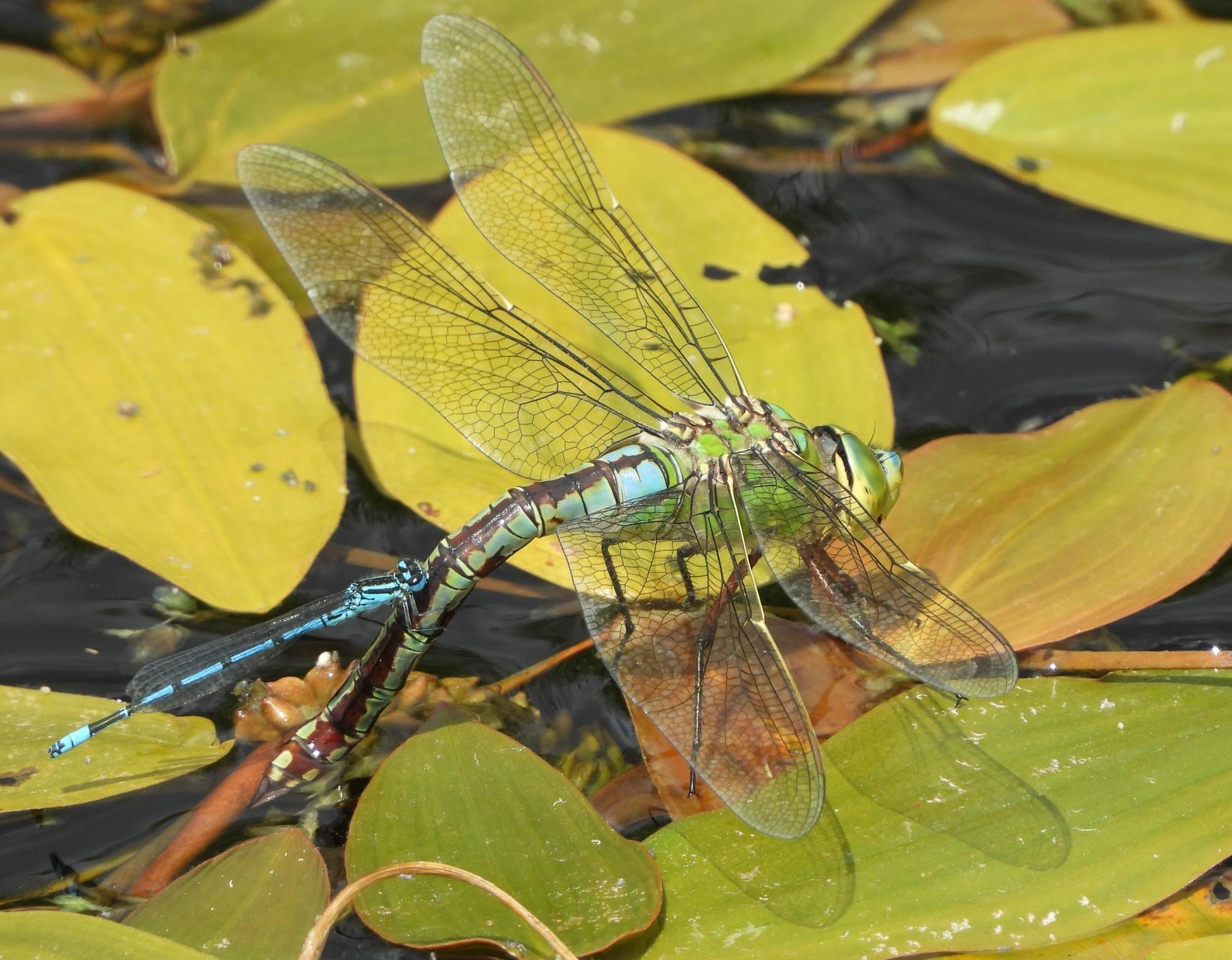 Emperor Dragonfly and Azure Damselfly