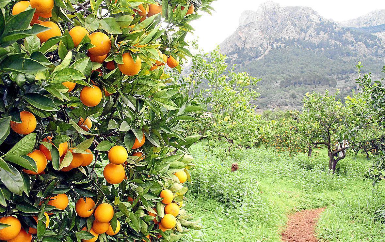 Soller oranges