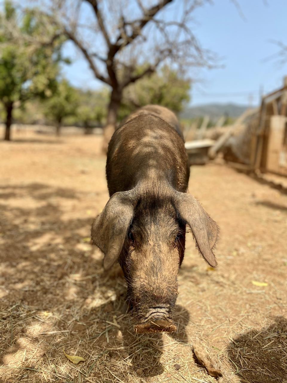 Fresa the sobrasada farm escapee